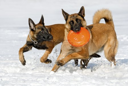 the Belgian shepherds plays with a disk frisbee