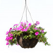 Hanging basket with a petunia flower isolated on a...