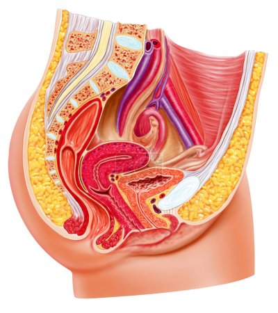 Anatomy female reproductive system, cutaway.