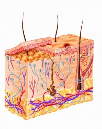Photo pour Diagramme de section de peau humaine - image libre de droit