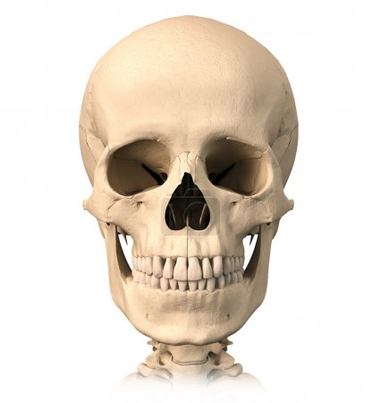Human skull, front view.