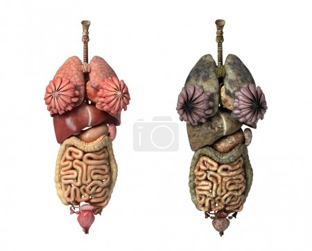 Photorealistic 3D rendering, of Female full internal organs, fro