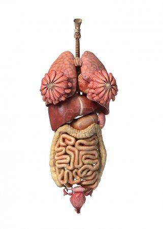 Photo pour Rendu 3D photoréaliste, des organes internes complets féminins, vue de face . - image libre de droit