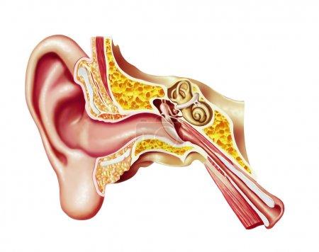 Human ear cutaway diagram.