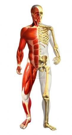 Anatomy illustration of man with half skeleton and half muscular