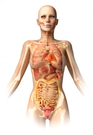 Woman body, with bone skeleton and all interior organs.