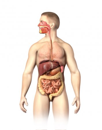Photo pour Anatomie humaine coupure du système digestif, y compris la bouche. Les autres organes, sont visibles en demi-tons. Sur fond blanc avec chemin de coupe . - image libre de droit