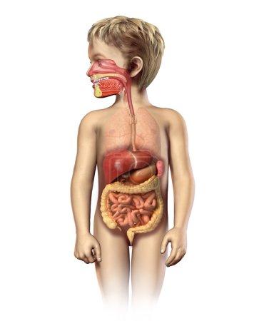 Child anatomy full digestive system cutaway.