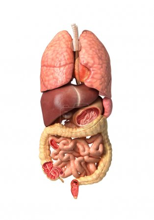 Human male anatomy, internal organs alone, full Respiratory and