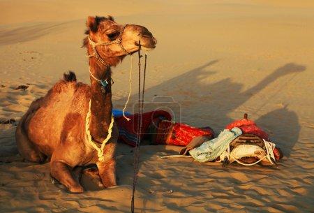 Camel in Thar Desert, India
