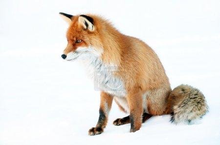 Photo pour Portrait de Fox isolé sur blanc - image libre de droit
