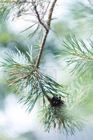 Closeup of green fir tree or pine branches with bokeh