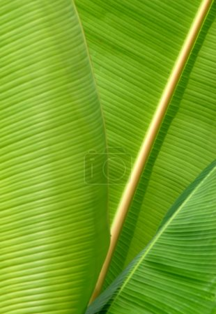 Photo for Close-up of some banana leafs - Royalty Free Image