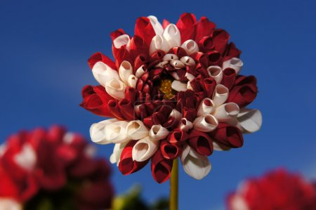 Red and white dahlia.