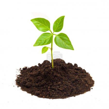 Foto de Planta verde joven aislado sobre un fondo blanco - Imagen libre de derechos