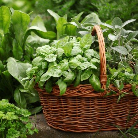 Photo pour Panier avec des herbes fraîches dans le jardin d'herbes aromatiques. - image libre de droit