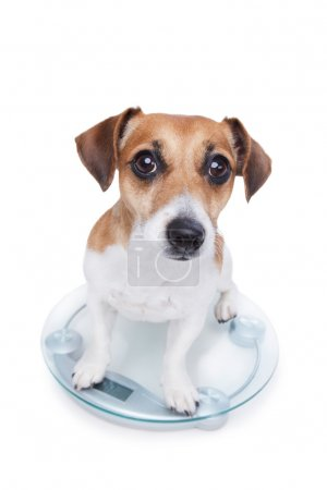 Dog measures your weight
