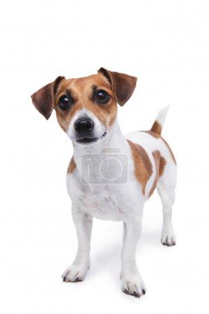 Smart small dog