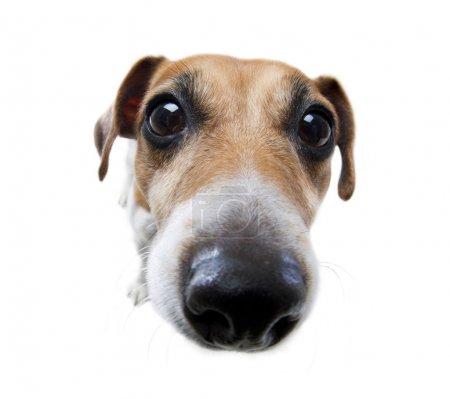 Funny dog nose