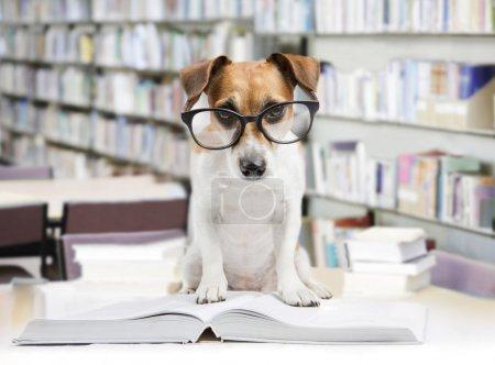 Photo pour Mignon chien fatigué étudiant lisant un livre pour enseigner des leçons, s'endort . - image libre de droit
