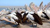Australský pelikánů