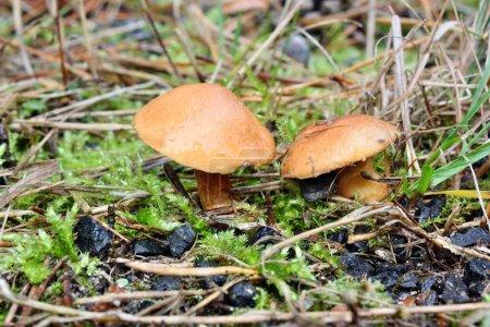 Mushroom suillus bovinus