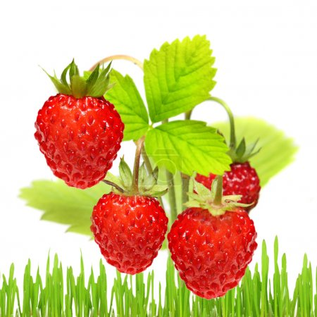 Photo for Wild strawberry in grass isolated on white - Royalty Free Image