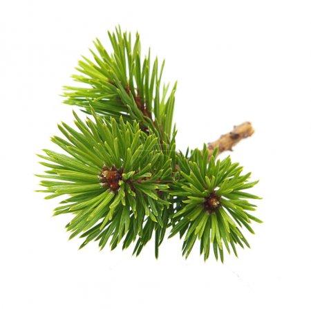 Photo pour Branche d'arbre de pin isolée sur blanc. - image libre de droit