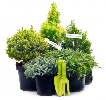 Conifer sapling trees in pots