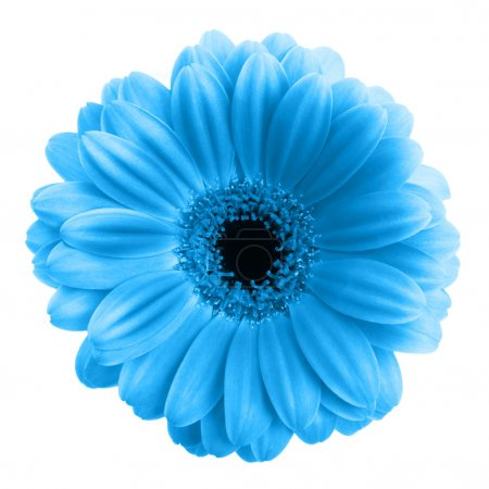 Photo for Blue gerbera flower isolated on white background - Royalty Free Image
