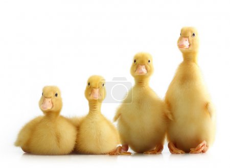Photo for Cute little duckling isolated on white background - Royalty Free Image