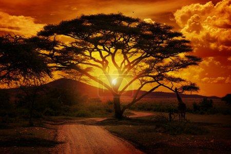 Photo pour Coucher de soleil africain en Tanzanie de parc national de serengeti - image libre de droit