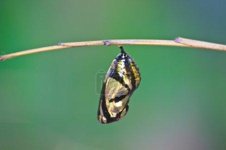 Beautiful Monarch chrysalis (Danaus plexippus) han...