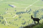 Horská koza