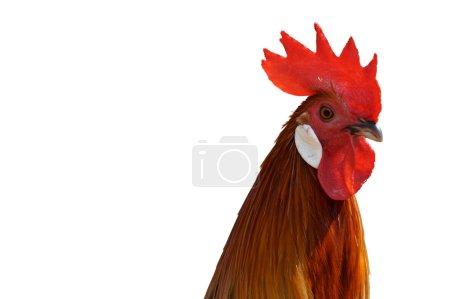 Close up Chicken on white background.