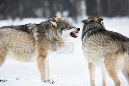 Photo pour Loup iin la neige froide. - image libre de droit