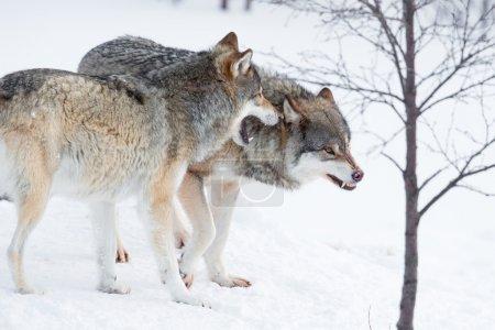 Photo pour Deux loups furieux dans la neige froide. - image libre de droit
