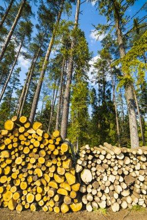 Photo pour L'abattage de la forêt, le cumul abattage des troncs d'arbres. bois de chauffage et de cheminées. - image libre de droit