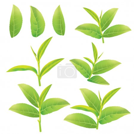 Flower and leaves of green tea...