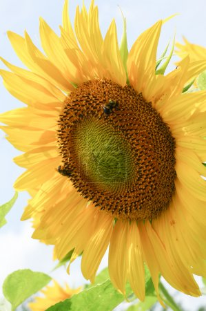 Photo for Sunflower - Royalty Free Image