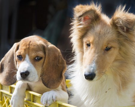 Collie and beagle