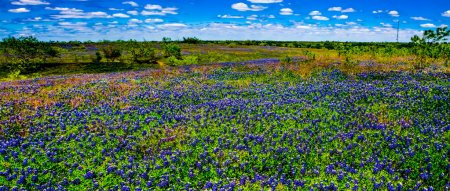 Photo for A Beautiful Wide Angle Panoramic View of a Texas Field Blanketed with the Famous Texas Bluebonnet (Lupinus texensis) Wildflowers. - Royalty Free Image