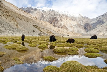Grazing yaks in Ladakh, India.