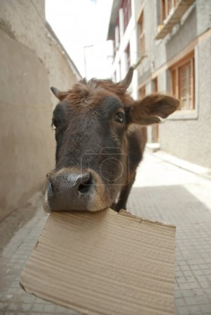 Funny cow chewing on paper in Leh, Ladakh, India.