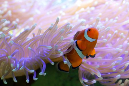 Tropical Clown Fish Hiding In Anemone Great Barrier Reef