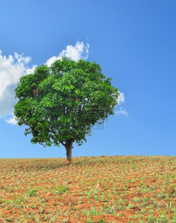A single tree standing alone in pineapple field with blue sky