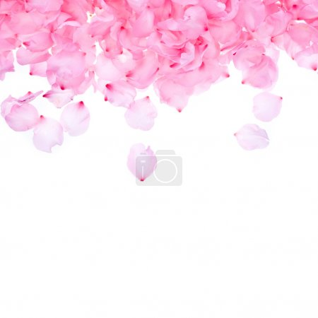 Photo for Pink rose petals on white background - Royalty Free Image