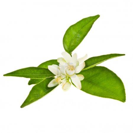 Photo pour Fleurs d'oranger et orange vert feuilles isolé sur fond blanc - image libre de droit