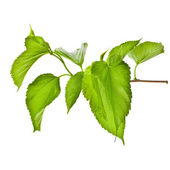 Jarní větve stromu s čerstvé zelené listy izolované na bílém pozadí