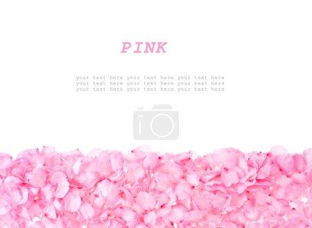 Photo pour Pétales d'amande rose bordées des deux côtés isolés sur fond blanc - image libre de droit